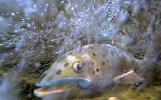Dlouhá cesta lososa